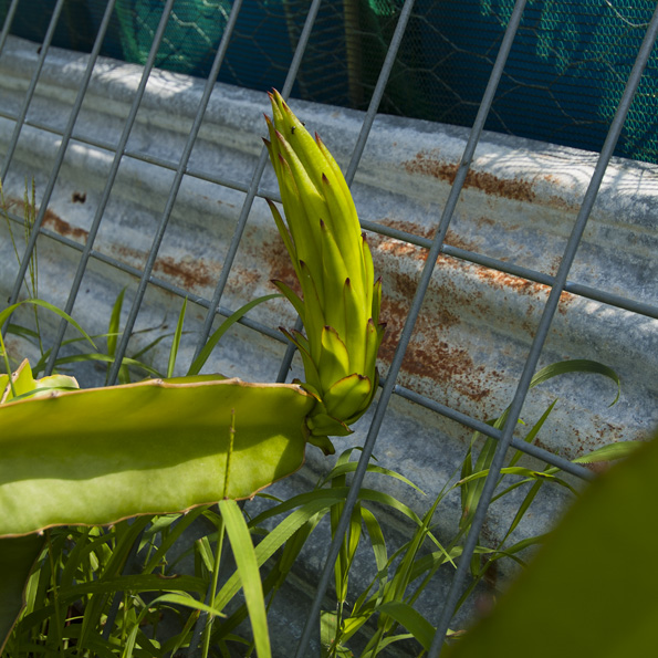 Growing Dragon Fruit From Cuttings And Looking After Your Growing