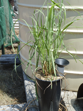 Lemongrass_Wicking Pot_P1020261_small