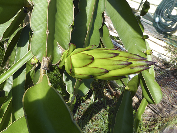 A range of buds, from just appeared to on the way to flowering